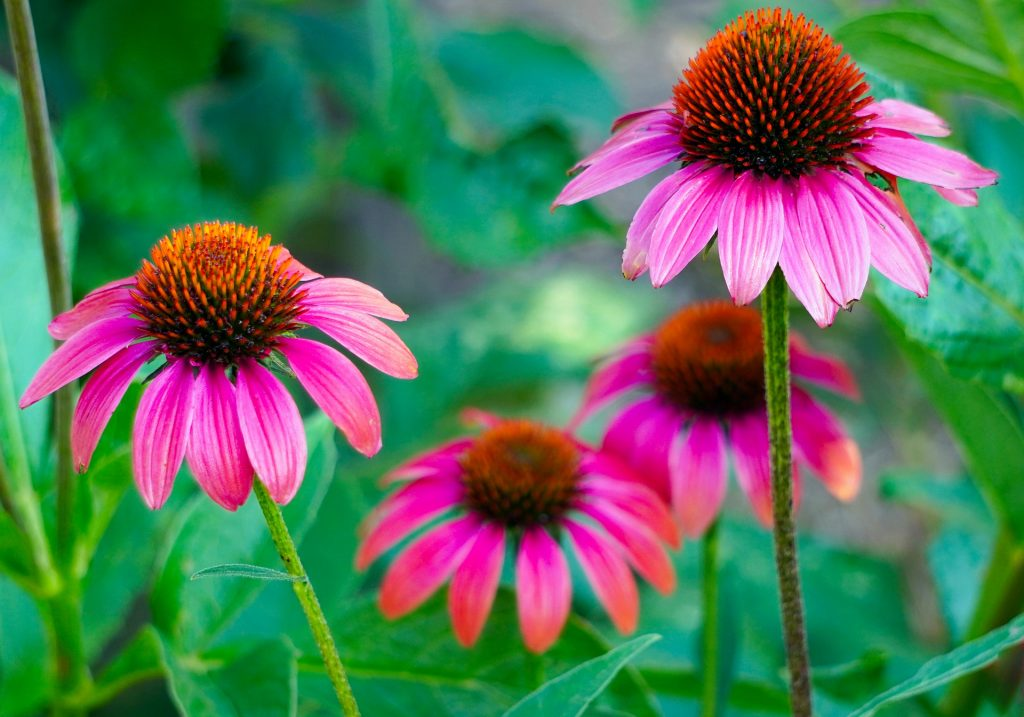La equinácea es una planta medicinal considerada un antibiótico natural.